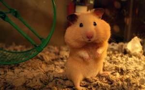 hamster-full-cheeks-600x372
